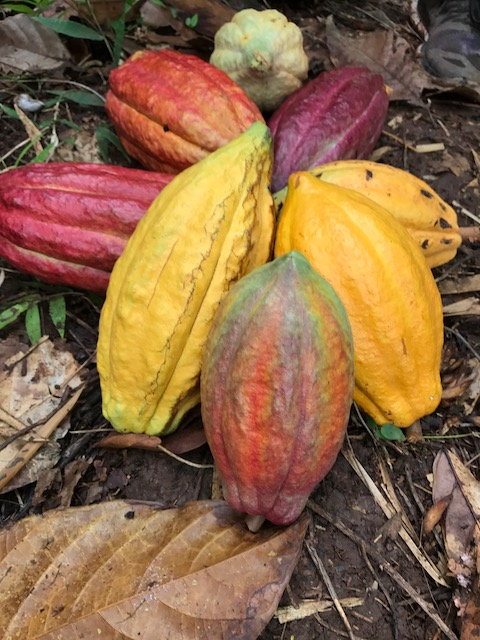 A small Cocoa Harvest. Look at those pretty colors!
